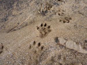 Formation sur les traces et indices de Mammifères (séance 2) @ Vienne Nature, Fontaine-le-Comte | Fontaine-le-Comte | Nouvelle-Aquitaine | France