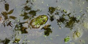 Prospection Amphibiens @ Poitiers | Poitiers | Nouvelle-Aquitaine | France
