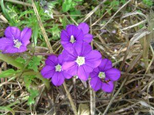 Les fleurs des moissons @ Migné-Auxances