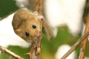 À la recherche du rat d'or