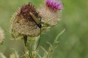 """Rencontre """"Insectes et petites bêtes"""" sur lesLongicornes @ Vienne Nature"""