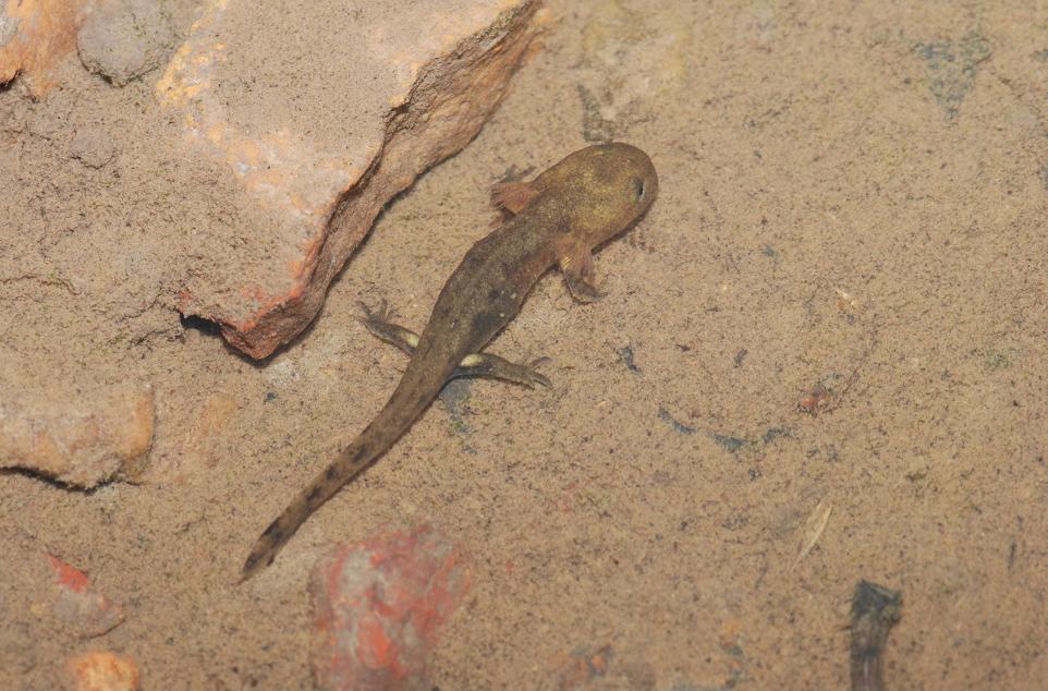 La Salamandre tachetée - Vienne Nature